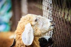 Chiuda sulle pecore marroni nell'allevamento di pecore Pecore nel waitin dell'azienda agricola Immagine Stock Libera da Diritti