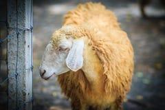 Chiuda sulle pecore marroni nell'allevamento di pecore Pecore nel waitin dell'azienda agricola Fotografia Stock Libera da Diritti