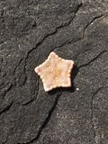Chiuda sulle stelle marine sulla roccia dell'ossidiana Fotografia Stock Libera da Diritti