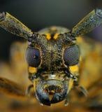 Chiuda sullo scarabeo cornuto lungo Fotografia Stock Libera da Diritti
