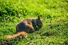 Chiuda sullo scoiattolo su erba Fotografia Stock Libera da Diritti