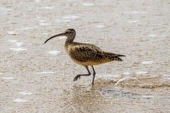 Chiurlo piccolo che cammina attraverso le onde sulla riva al Laguna Beach, California Fotografia Stock Libera da Diritti