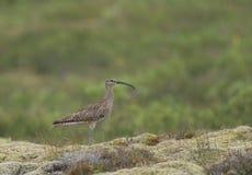 Chiurlo piccolo, parco nazionale di Thingvellir, Islanda Fotografie Stock Libere da Diritti