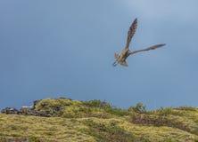 Chiurlo piccolo, parco nazionale di Thingvellir, Islanda Fotografia Stock