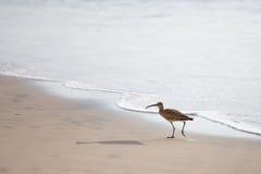 Chiurlo piccolo sulla spiaggia Fotografie Stock Libere da Diritti