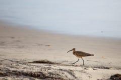 Chiurlo piccolo sulla spiaggia Immagine Stock Libera da Diritti