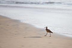Chiurlo piccolo sulla spiaggia Immagini Stock