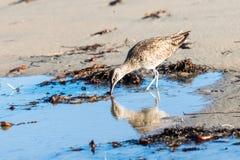 Chiurlo piccolo, uccello di riva che esamina la sua riflessione in acqua Immagini Stock