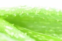 Chiuso-su delle foglie di Alov Vera come fondo Fotografie Stock