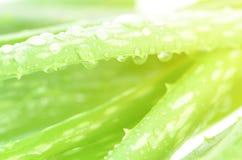 Chiuso-su delle foglie di Vera dell'aloe come fondo Fotografia Stock Libera da Diritti