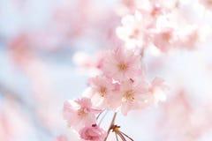 Chiuso su sul fiore di buon umore rosa-chiaro, sakura si è acceso da luce solare in Osaka Japan fotografie stock