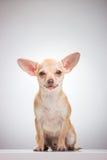 Chivava是宠物由人的手 库存图片