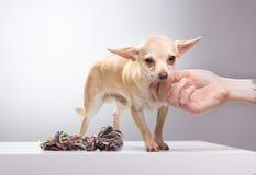 Chivava che è animale domestico dalla mano umana Immagini Stock Libere da Diritti