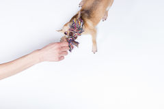 Chivava che è animale domestico dalla mano umana Fotografia Stock