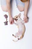 Chivava joven que juega con el ser humano joven, y cuerda (juguete) Fotografía de archivo
