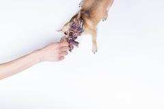Chivava que é animal de estimação pela mão humana Foto de Stock
