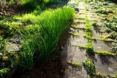 Chive и тротуар - весна стоковые фотографии rf