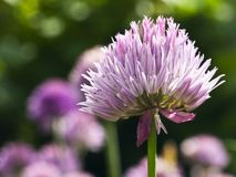 Chive. A macro of a blossom of a chive royalty free stock photography