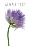 Chive. A single chive blossom isolated on white royalty free stock images