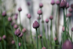 Chive. S in the garden, close up Royalty Free Stock Image