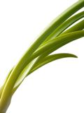 Chive. Onion with chive Royalty Free Stock Photo