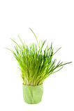 Chive. In green pot isolated over white royalty free stock images