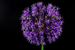 Chive (Allium schoenoprasum) Stock Photography