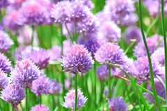 Chive Allium Schoenoprasum Colorful Blossom Home Gardening and Planting Stock Photo stock photography