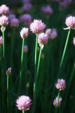 Chive Allium schoenoprasum Royalty Free Stock Image