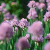 Chive Allium schoenoprasum Stock Photos