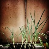 Chive. Artistic look in vintage vivid colours. Vegetable plant chives on the balcony stock photos