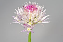 Chive blooming Royalty Free Stock Image