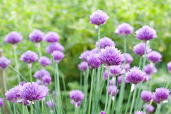 Chive. Blooming purple chive in garden stock photos