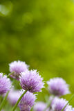 Chive Blossoms Royalty Free Stock Images