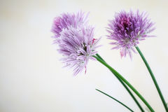 Chive blossoms Stock Photo