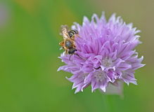 Chive Blossoms  and bee in Garden Royalty Free Stock Photo