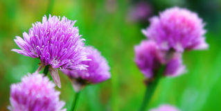 Chive blossoms. Stock Images