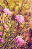 Chive Blossoms. Selective focus on chive blossoms Stock Photography