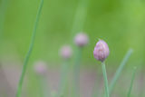 Chive bud Stock Photography
