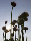 Chive with direct sun. Chive standing in direct sun with big purple flowers royalty free stock images
