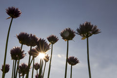 Chive with direct sun. Chive standing in direct sun with big purple flowers royalty free stock photos