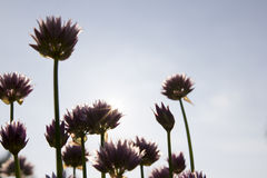 Chive with direct sun. Chive standing in direct sun with big purple flowers royalty free stock photo