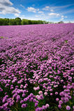 Chive field on Bornholm island. Violet chive field on Bornholm island. Denmark, Europe stock images