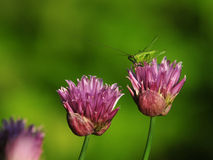 Chive flovers and grasshopper Royalty Free Stock Photography