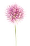 Chive flower Stock Images