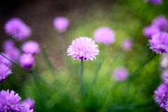 Chive Flower Royalty Free Stock Photos