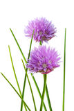 Chive Flower. And leaf isolated on whtie background royalty free stock images