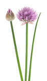 Chive flower royalty free stock photo