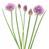 Chive  flower Stock Photo