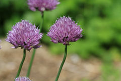 Chive flower head Royalty Free Stock Images